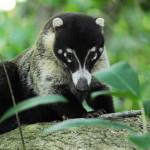 garden Coati contact
