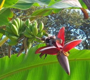 garden Banana contact